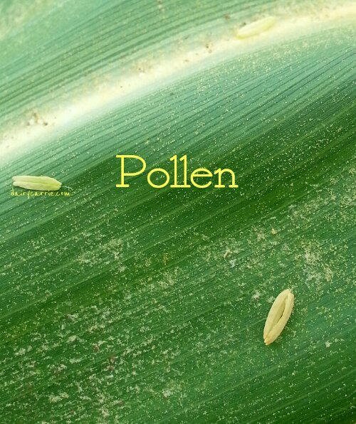 Pollen in corn pollinating